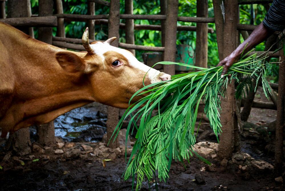 Ko äter lokalt foder vid småskaligt jordbruk i Östafrika.